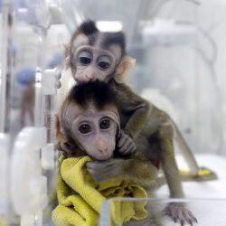 القرود في السويد